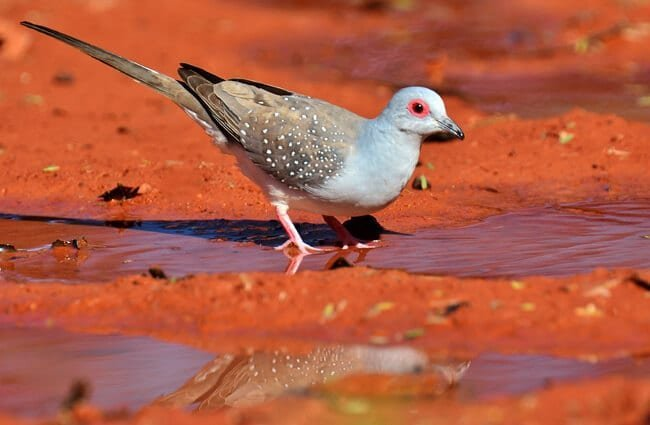 Diamond Dove getting a drink Photo by: Laurie Boyle https://creativecommons.org/licenses/by-sa/2.0/