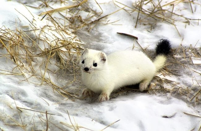 Ermine blending into the snowy background Photo by: (c) mihailzhukov www.fotosearch.com