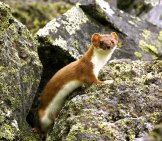 Very Cute Brown Ermine Pausing In A Rock Crevice Photo By: (C) Mihailzhukov Www.fotosearch.com