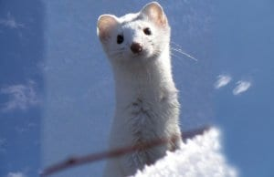 Cute Ermine checking out the cameraPhoto by: Bryant Olsen//creativecommons.org/licenses/by-nc/2.0/