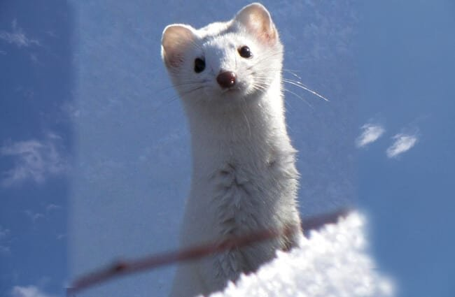 Cute Ermine checking out the cameraPhoto by: Bryant Olsenhttps://creativecommons.org/licenses/by-nc/2.0/