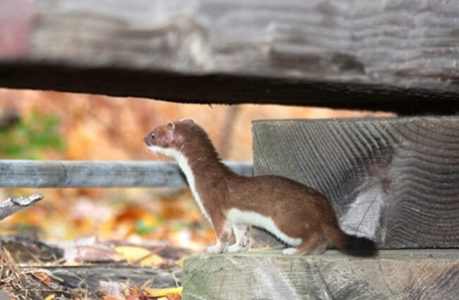 Beautiful brown and white Ermine on a fence rail Photo by: Robb Hannawacker https://creativecommons.org/licenses/by-nc/2.0/