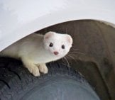 Snow-White Ermine Peeking Out From A Wheel-Well Photo By: Mikofox ⌘ Photography //creativecommons.org/licenses/by-Nc/2.0/