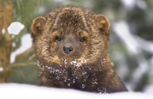 Fisher portrait in deep snow on winter dayPhoto by: (c) visceralimage www.fotosearch.com