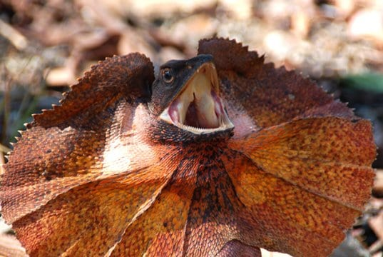 Frilled lizard with its frill expandedPhoto by: wouter!//creativecommons.org/licenses/by-nc/2.0/