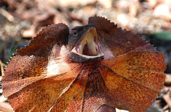 Frilled lizard with its frill expandedPhoto by: wouter!https://creativecommons.org/licenses/by-nc/2.0/