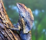 Frilled Lizard Climbing A Tree Photo By: Eric Kilby //creativecommons.org/licenses/by-Nc/2.0/