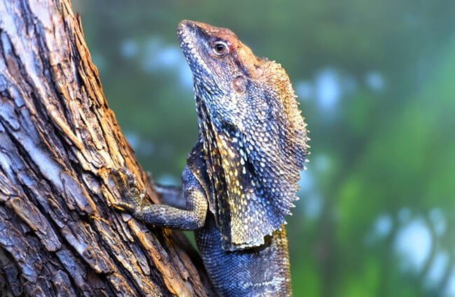 Frilled Lizard climbing a tree Photo by: Eric Kilby https://creativecommons.org/licenses/by-nc/2.0/