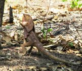 Frilled Lizard In The Wild At Darwin, Australia Photo By: Garycycles8 Https://creativecommons.org/licenses/by-Nc/2.0/