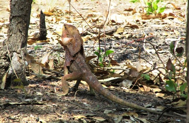 Frilled Lizard in the wild at Darwin, Australia Photo by: garycycles8 //creativecommons.org/licenses/by-nc/2.0/