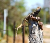 Frilled Lizard On A Fence Post Photo By: Gordon Chirgwin Https://creativecommons.org/licenses/by-Nc/2.0/