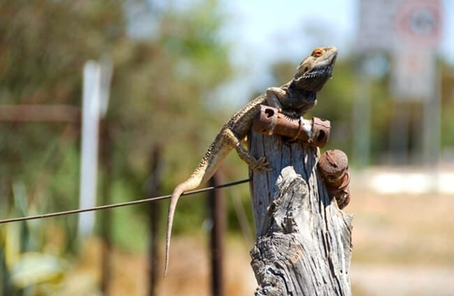 Frilled Lizard on a fence post Photo by: Gordon Chirgwin //creativecommons.org/licenses/by-nc/2.0/