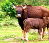 Gaur Cow Nursing Her Calf Photo By: Binu K S Https://creativecommons.org/licenses/by-Nc-Sa/2.0/