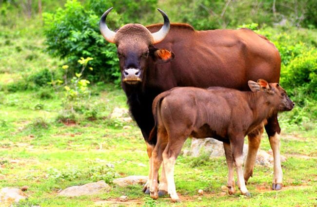 Gaur cow nursing her calf Photo by: Binu K S //creativecommons.org/licenses/by-nc-sa/2.0/