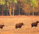 Gaur Herd Photo By: Vishwanath Hawargi Https://creativecommons.org/licenses/by-Nc-Sa/2.0/