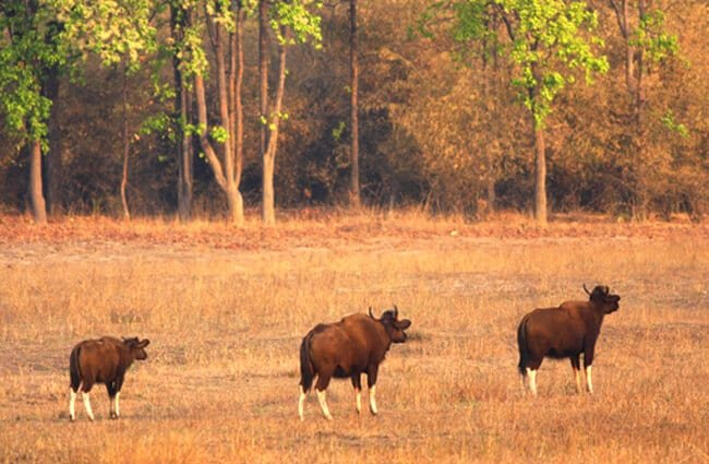 Gaur herd Photo by: vishwanath Hawargi //creativecommons.org/licenses/by-nc-sa/2.0/