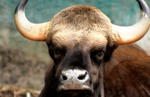 Closeup portrait of a Gaur bullPhoto by: Mohd Fazlin Mohd Effendy Ooihttps://creativecommons.org/licenses/by-nc-sa/2.0/
