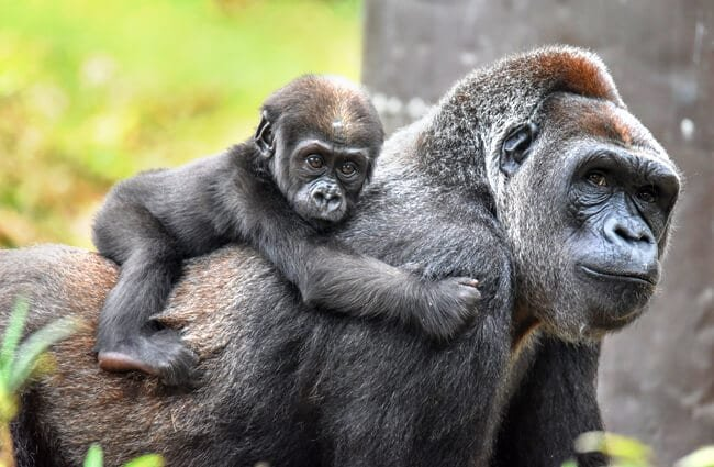 Mother Gorilla carrying her new baby on her backPhoto by: angela n.https://creativecommons.org/licenses/by-sa/2.0/