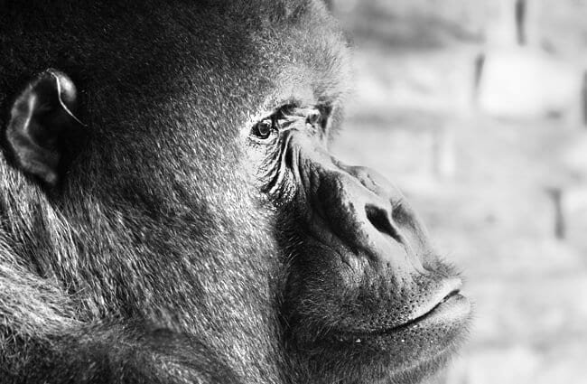 Closeup portrait of a mature Gorilla