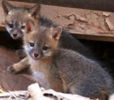 Stunning Gray Fox Kits Photo By: Skeeze Https://pixabay.com/photos/gray-Fox-Kits-Young-Babies-956687/