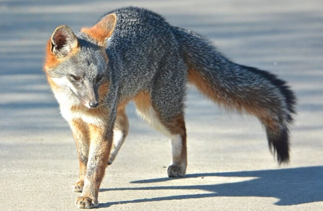 Gray Fox walking down a suburban roadway Photo by: Don Owens https://creativecommons.org/licenses/by/2.0/