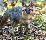 Gray Fox Taking Notice Of The Camera Photo By: Andy Reago & Chrissy Mcclarren Https://creativecommons.org/licenses/by/2.0/