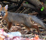 Florida Grey Fox - Notice The Litter That Threatens His Environment Photo By: Scott Beazley Https://creativecommons.org/licenses/by/2.0/
