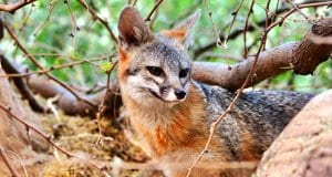 Beautiful Gray Fox in the woodsPhoto by: Renee Graysonhttps://creativecommons.org/licenses/by/2.0/