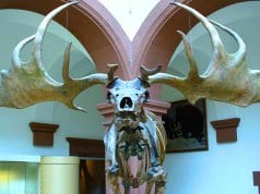 Irish Elk skeleton from its front visagePhoto by: I, Atirador CC BY-SA 3.0 http://creativecommons.org/licenses/by-sa/3.0/