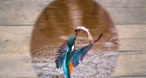 A truly beautiful Kingfisher rising out of the water with his prize!