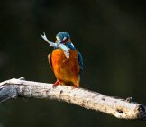 A Little Kingfisher With An Even Littler Fish!