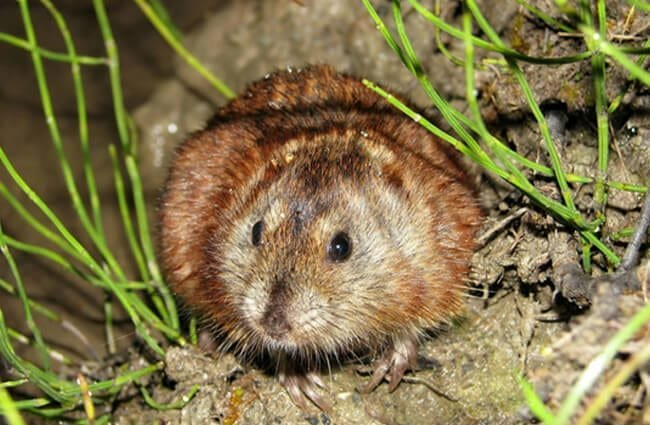Siberian Brown Lemming is hiding in the grass Photo by: (c) Dimcha www.fotosearch.com