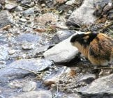Lemming In The River Rocks Photo By: Karin Jonsson Https://creativecommons.org/licenses/by/2.0/