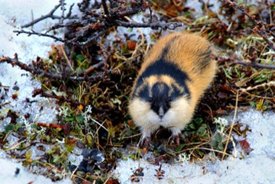 Lemming checking out the cameraPhoto by: kgleditschhttps://creativecommons.org/licenses/by/2.0/