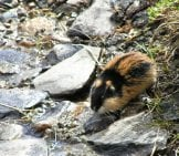 Lemming At The Water'S Edge Photo By: Karin Jonsson Https://Creativecommons.org/Licenses/By/2.0/