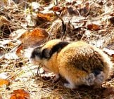 Cute Little Lemming In The Morning Sun Photo By: Jon-Eric Melsæter Https://Creativecommons.org/Licenses/By/2.0/