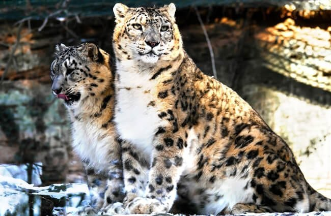 A pair of Leopards