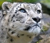 Loseup Of A Stunning Snow Leopard