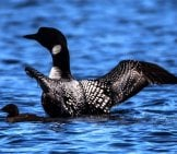 Female Loon With Her Chick