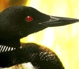Closeup Of A Loon's Face
