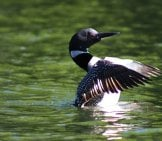 Beautiful Loon Taking Off From The Lake Waters