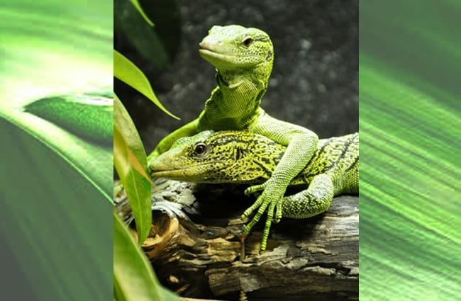 Two Spotted Baumwaran Monitor Lizards