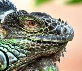 Monitor Lizard - Iguana Close Up