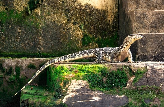 Monitor Lizard showing off his tail in a zoo setting