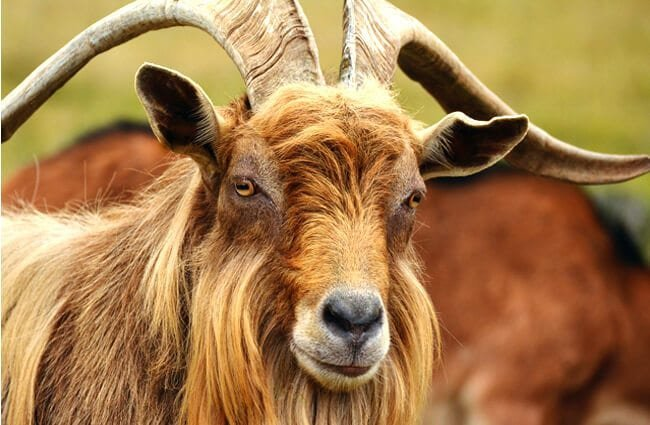 Portrait of a beautiful Mountain Goat