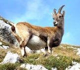 Pregnant Mountain Goat On A Steep Hill