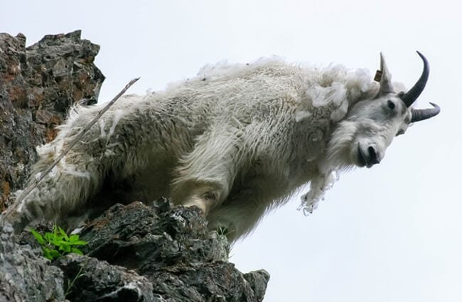 Mountain Goat looking from his lofty perch