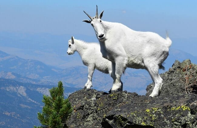 A pair of Mountain Goats high on a cliff