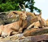 Mom And Baby Mountain Goat Resting In The Sun