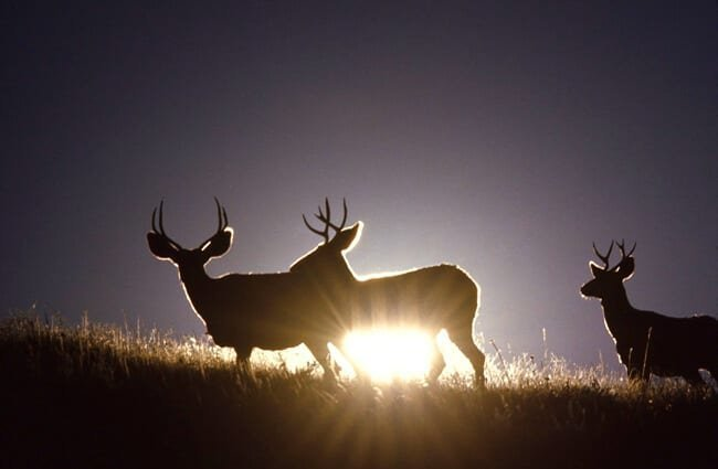 Two Mule Deer bucks in the setting sun